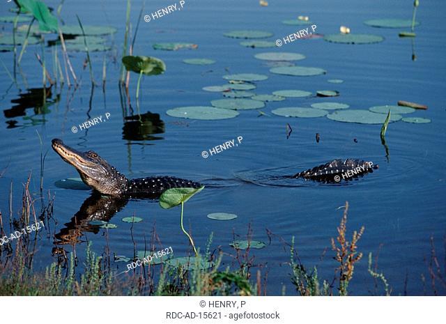 American Alligator bellowing Texas USA Alligator mississippiensis