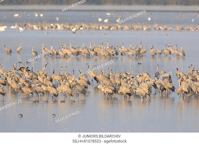 Common Crane (Grus grus). Flock spending the night in shallow waters of the Bodden chain. Western Pomerania Lagoon Area National Park, Mecklenburg-Vorpommern