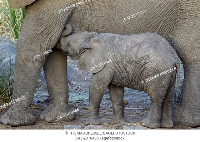 African Elephant (Loxodonta africana) - Cow with suckling calf at a waterhole. Kruger National Park, South Africa