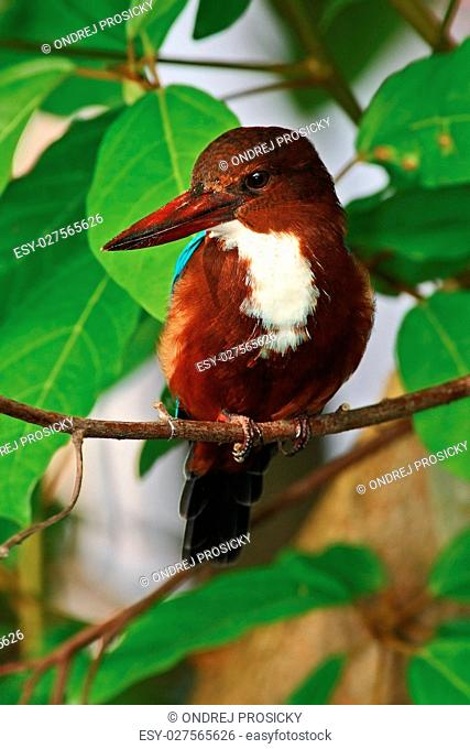 Brown kingfisher. Beautiful bird from India. White-throated King