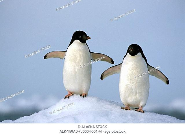 Portrait of Adelie Penguins on Paulet Is Antarctic Summer