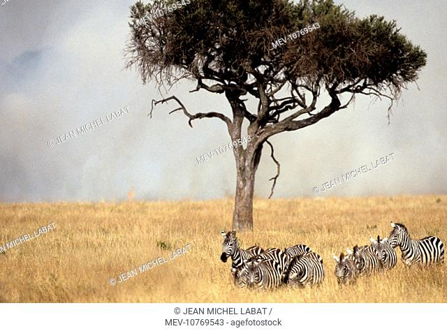 Boehm's / Grant's Zebra - herd with fire and smoke behind. (Equus quagga boehmi)