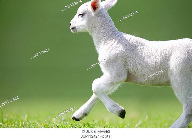 Frolicking lamb running in green spring grass