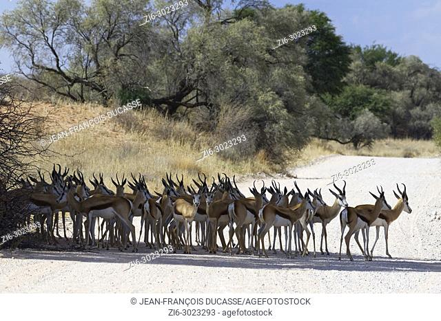 Herd of springboks (Antidorcas marsupialis) standing in the shade, in the middle of a dirt road, Kgalagadi Transfrontier Park, Northern Cape, South Africa