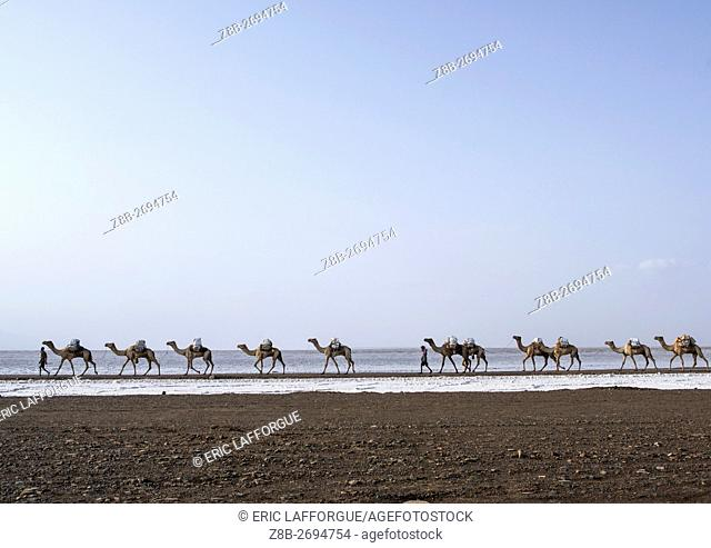 Ethiopia, Afar Region, Dallol, camel caravans carrying salt blocks in the danakil depression