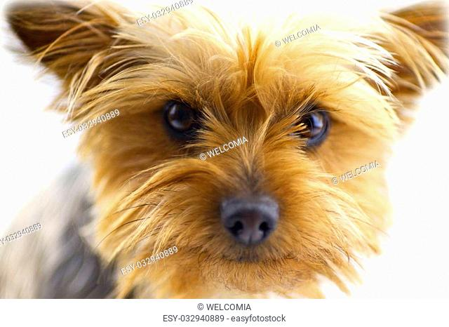 Cute Dog - One Year Old Australian Silky Terrier. White Background