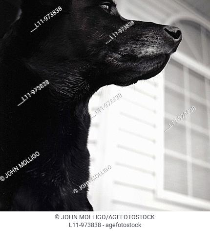 Black labrador retriever, close-up profile