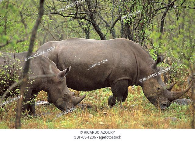 Illustrated photo of an animal, rhino, mammal, large, forest, herbivore