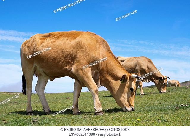 forefront of a cows grazing in a meadow in the Lagos de Covadonga, Asturias, Spain