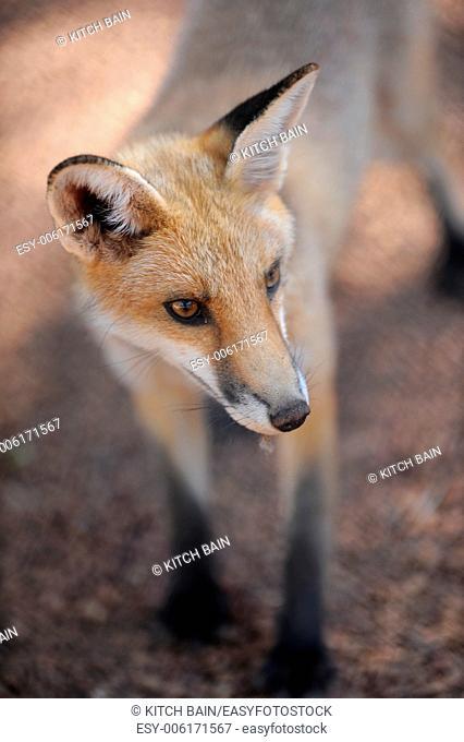 A close up shot of an Australian Fox