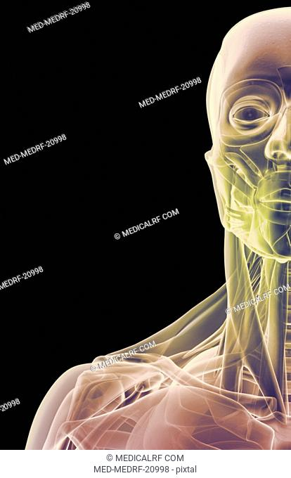 The muscles of the face, neck and shoulder