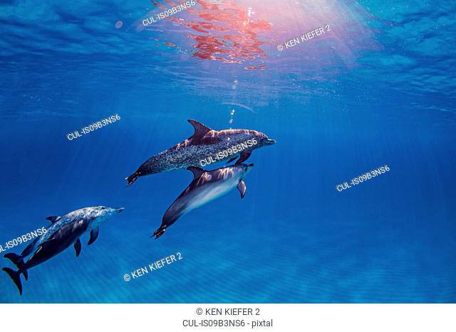 Group of Atlantic Spotted dolphins, underwater view
