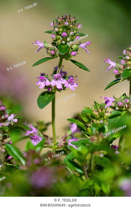 Broad-Leaved Thyme, Dot Wells Creeping Thyme, Large Thyme, Lemon Thyme, Mother of Thyme, Wild Thyme (Thymus pulegioides), inflorescence, Switzerland