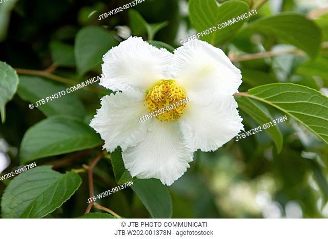 Stewartia pseudocamellia, Japanese stuartia, Tochigi, Kanto, Japan