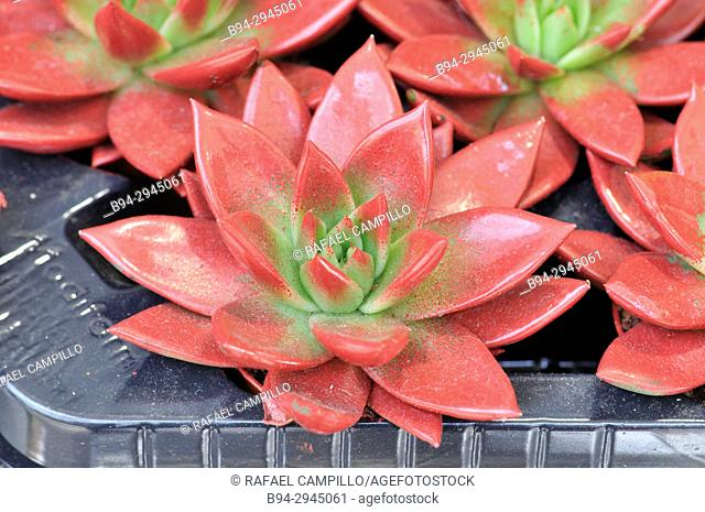 Echeveria agavoides plants for sale. Echeveria is a large genus of flowering plants in the Crassulaceae family, native to semi-desert areas of Central America