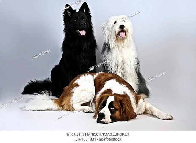 Lying St. Bernard dog, Old German Shepherd dog and mongrel