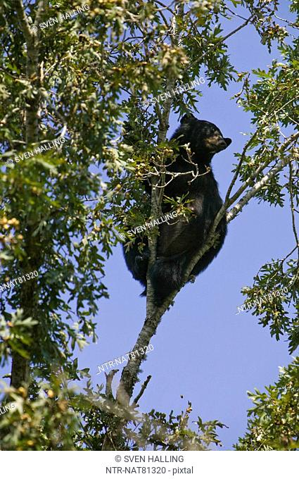 American Black Bear climbing a tree, USA