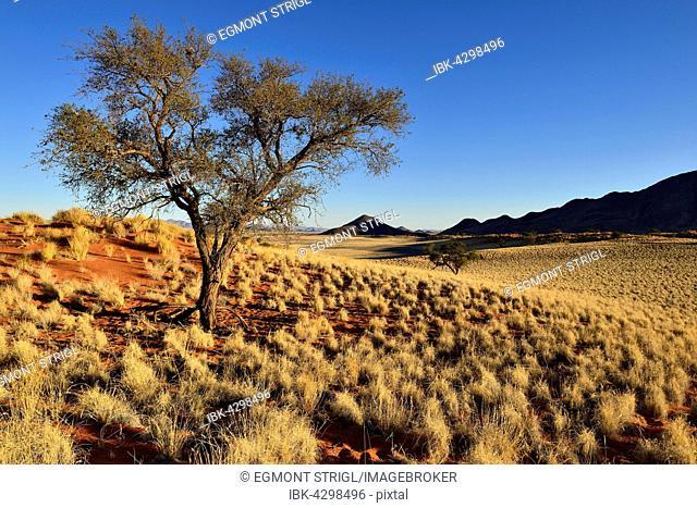 Acacia tree at NamibRand Nature Reserve, Namib Desert, Namibia