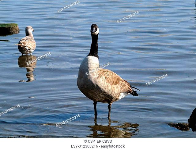 Canadian Geese with seagull in background