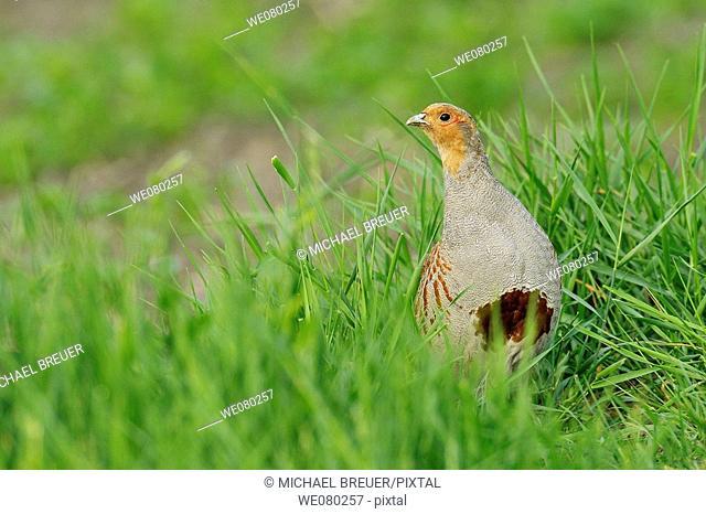 Partridge, Perdix perdix, Male, Summer, Germany