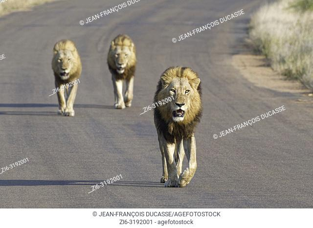 African lions (Panthera leo), three adult males walking on a tarred road, Kruger National Park, South Africa, Africa