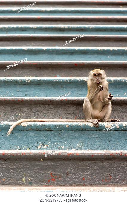 Monkey had dominated the 272 steps to batu cave temple. Batu cave is a hindu cave temple in Kuala Lumpur, Malaysia. It is the popular venue of yearly Thaipusam...