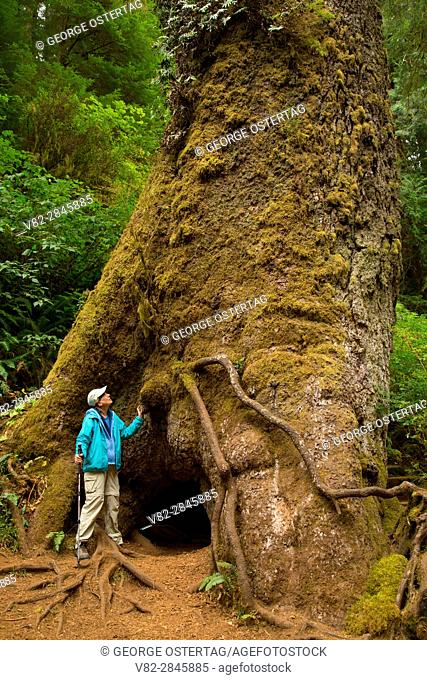Giant Sitka spruce (Picea sitchensis) along Giant Spruce Trail, Cape Perpetua Scenic Area, Siuslaw National Forest, Oregon