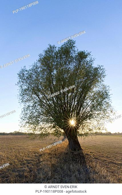 Sun shining through branches of lone pollard willow / pollarded white willow (Salix alba) at sunset in autumn