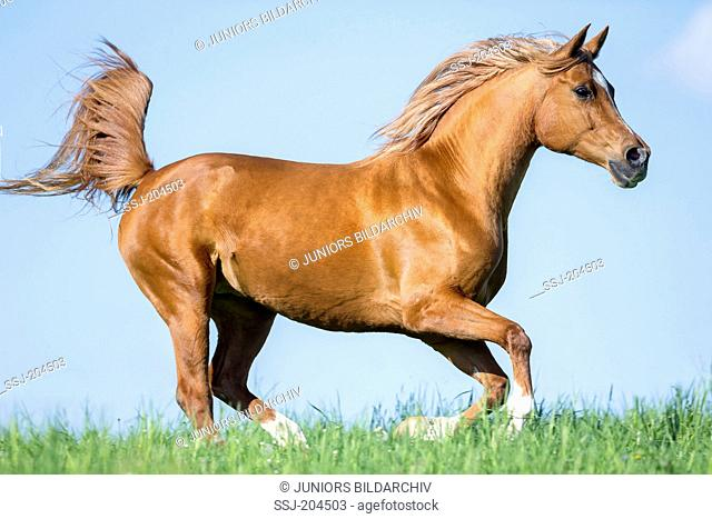 Arab Horse, Arabian Horse. Chestnut gelding galloping on a pasture. Austria