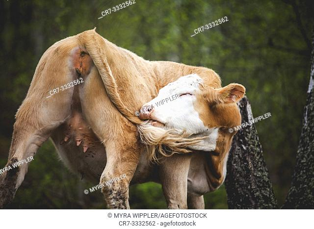 Young cow scratching her tail