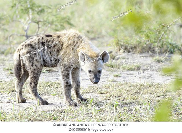 Spotted hyena (Crocuta crocuta) cub, standing on savanna, looking back, Kruger National Park, South Africa,