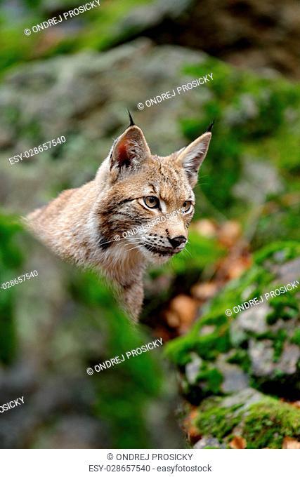 Portrait of eurasian wild cat Lynx