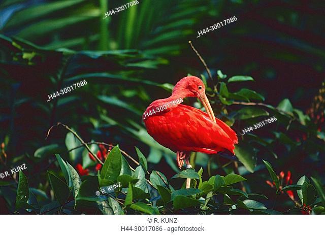 Scarlet Ibis, Eudocimus ruber, Threshiornithidae, Ibis, Origin South America, Birdpark, Singapore