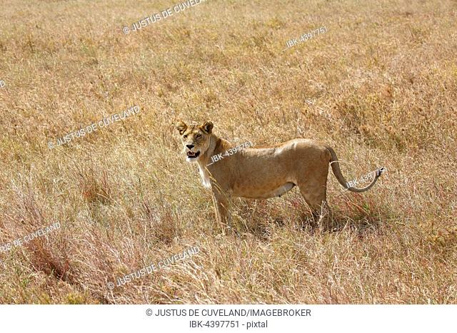 Pregnant lioness wandering in savannah, African lion (Panthera leo), female, Serengeti National Park, UNESCO World Heritage, Tanzania