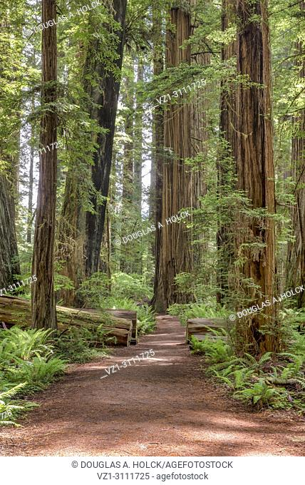 Path in the giant redwoods, Sequoia sempervirens, of Jedediah Smith Redwoods State Park, Northern California, USA