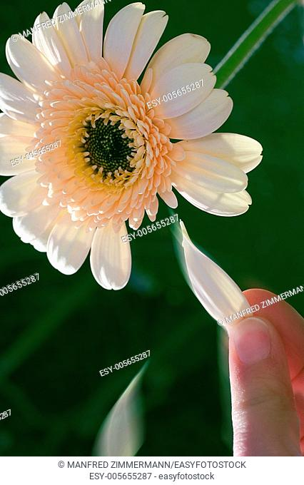 Hand plucking leaves of blossoms on the principle yes-no-yes