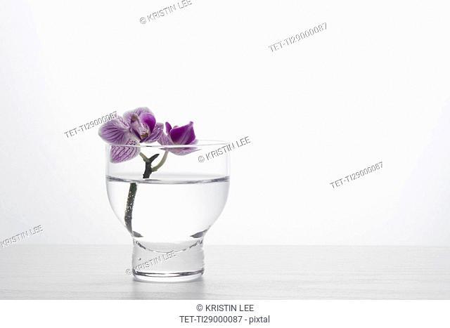 Studio shot of orchid