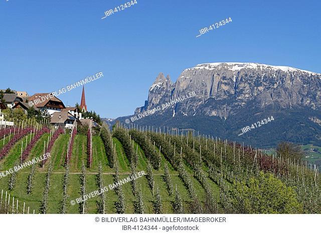 Orchard near Unterinn on the Ritten Renon with Schlern massif, near Bolzano, South Tyrol, Italy
