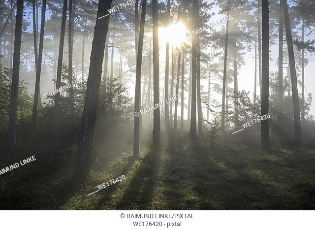 Forest in the morning with fog and sun, Höhefeld, Wertheim, Baden-Wurttemberg, Germany