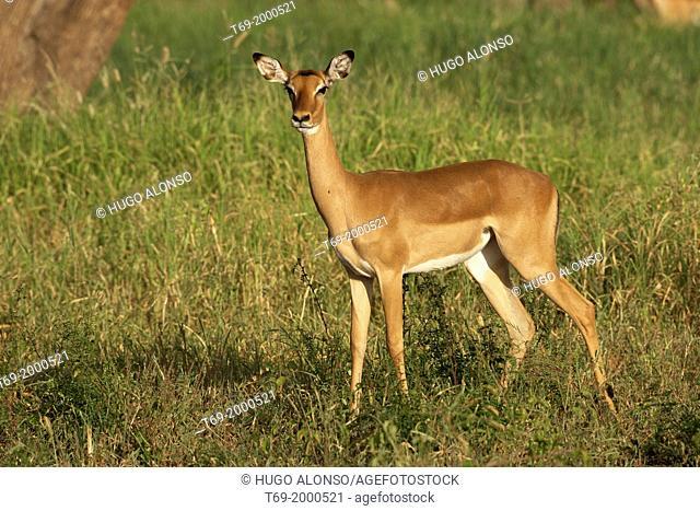 Impala. Aepyceros melampus. Tarangire. Tanzania