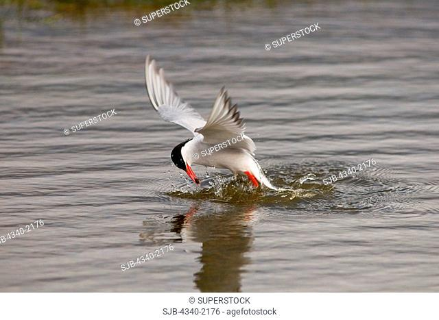 An adult Arctic tern Sterna paradisaea dives into a tundra pond to catch fish, outside the settlement of Longyearbyen, Svalbard, Norway
