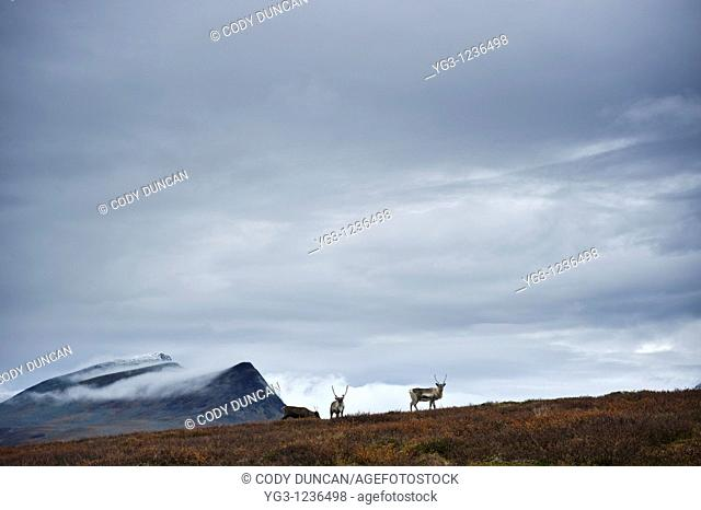 Reindeer in mountain landscape, Kungsleden trail, Lapland, Sweden