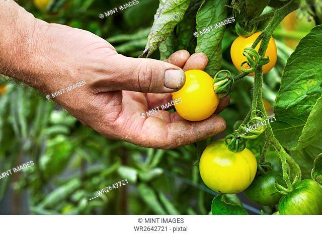 A gardener picking yellow ripe tomatoes