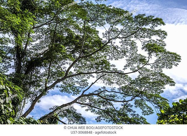 Trees at Reservoir Park, Kuching, Sarawak, Malaysia