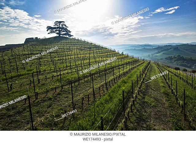 Early morning view on Cedar of Lebanon, evergreen conifer that rises majestically on the hill full of vineyards in Monfalletto in the fraction of the...