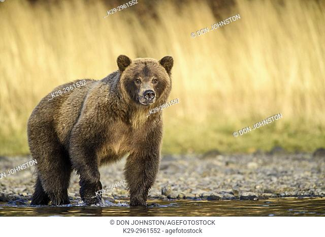 Grizzly bear (Ursus arctos)- Walking river shoreline in search of sockeye salmon, Chilcotin Wilderness, BC Interior, Canada