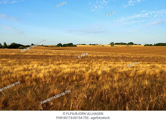 Barley (Hordeum vulgare) crop, ripening field, Denmark, August