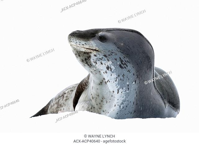 Female leopard seal Hydrurga leptonyx, resting on pack ice, Pleneau Island, Antarctic Peninsula, Antarctica
