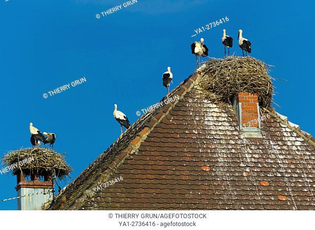 France, Haut-Rhin (68), Munster village, white strokes nesting on houses roof