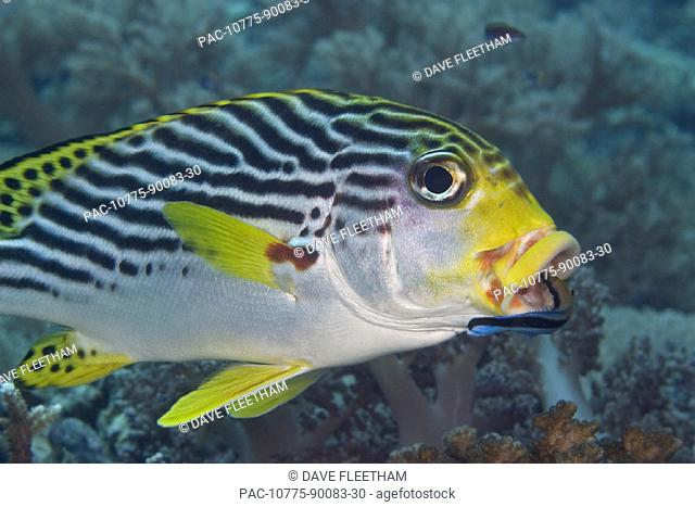 Malaysia, Mabul Island, Lined sweetlips (plectorhinchus lineatus) with cleaner wrasse (labroides dimidiatus) in mouth